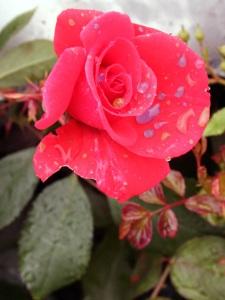 rose on stem