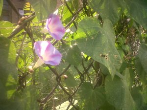 Morning glories embrace the light...and the night .